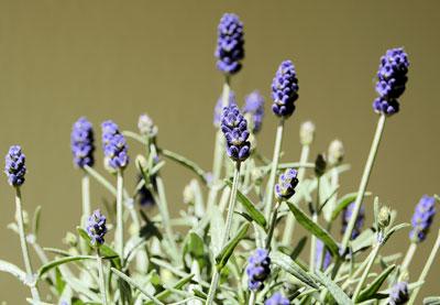 der echte lavendel lavendula angustifolia pflege und standort das online gartenjournal. Black Bedroom Furniture Sets. Home Design Ideas