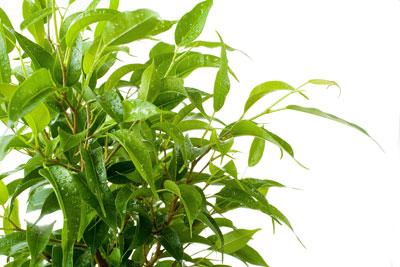 Atemberaubend Birkenfeige, Ficus benjamini - Standort, Pflege und Krankheiten #JO_36